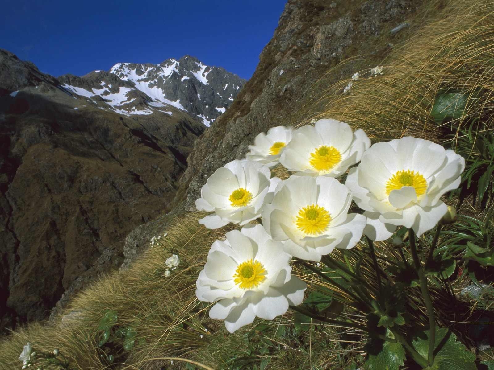 Mount_Cook_Buttercup_on_Mount_Rolleston_Arthur's_Pass_National_Park_New_Zealand
