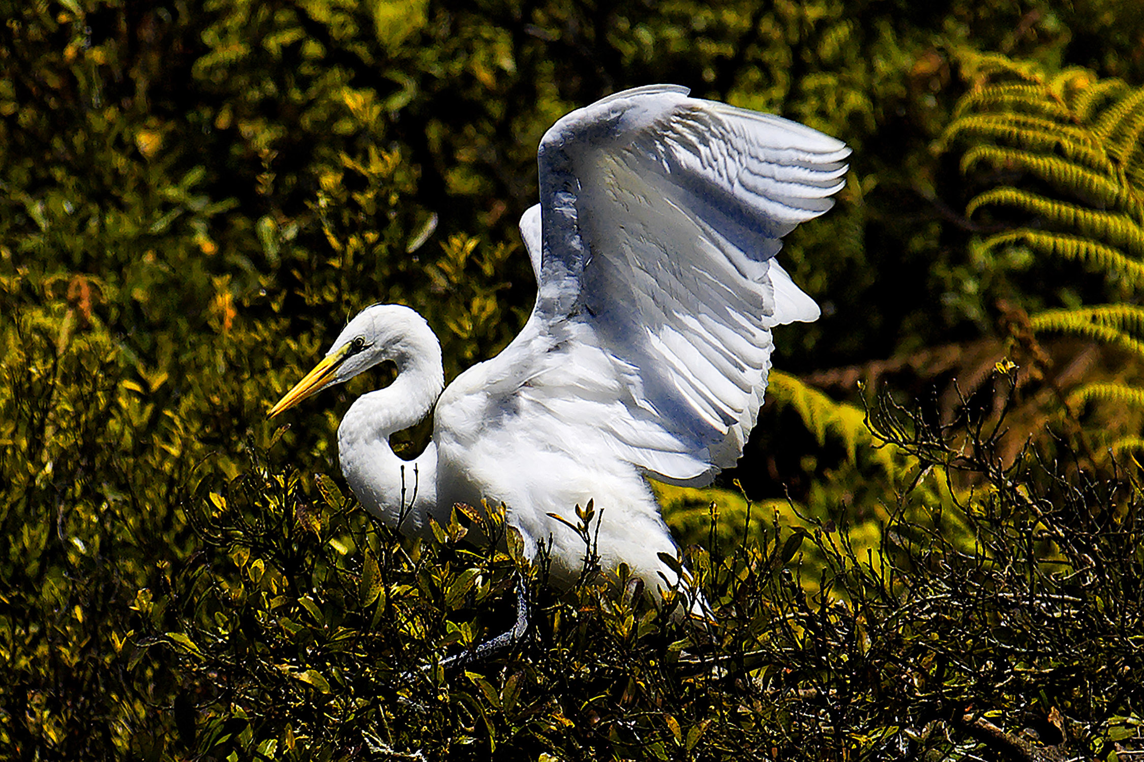 white_heron_okarito_west_coast